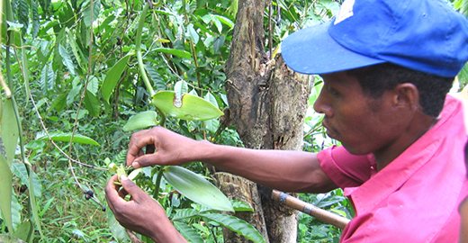 Pollination by Anicet JERA the manager of the Vanilla LAVANY plantations in Betavilona - Madagascar