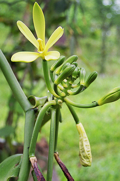 Flower, button, young green pods of LAVANY Bourbon Vanilla from Madagascar