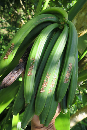 Green pods with the clear markings of the Planteur des Vanilles LAVANY seal Bourbon from Madagascar in Betavilona