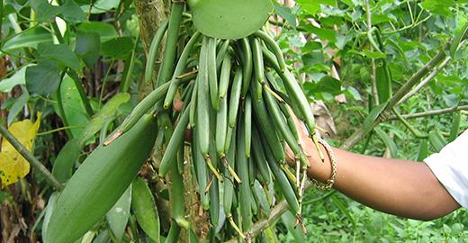 Green Vanilla Bunch LAVANY Bourbon from Madagascar