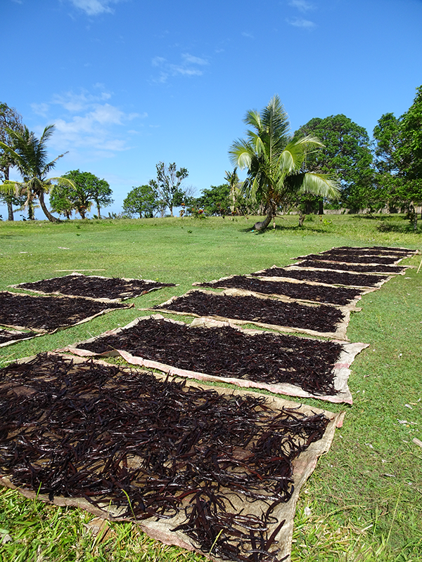 Drying in the natural air and in the sun of LAVANY Vanilla Bourbon de Madagascar